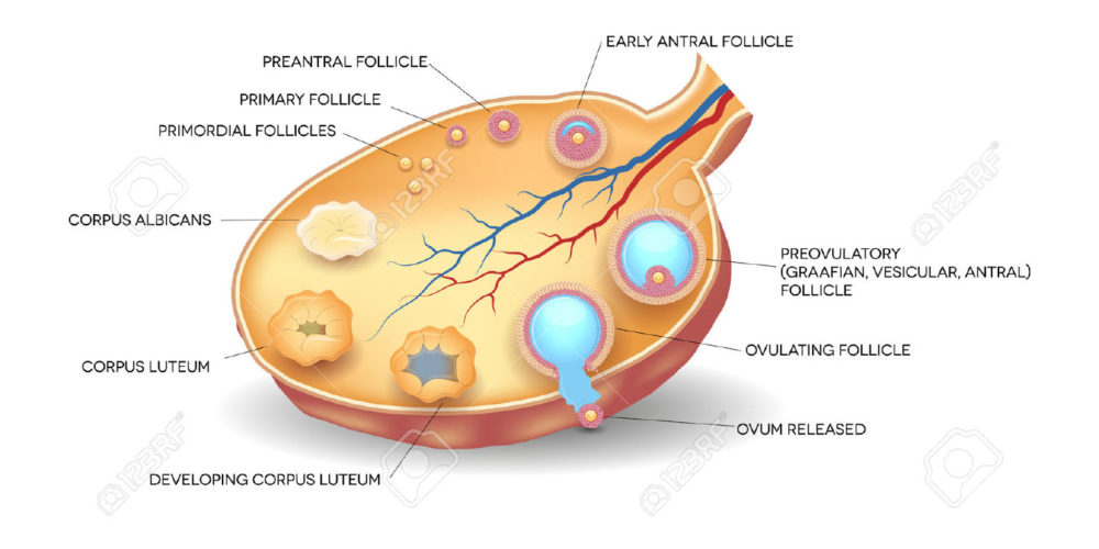 womans diagram of an egg kathryn cardinal | surprising facts about the female egg